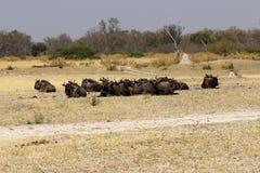 Herd of Brindled Gnus or Wildebeest Stock Image