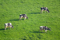 Herd of British Friesian cows grazing on a farmland Royalty Free Stock Images