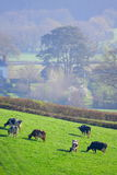 Herd of British Friesian cows grazing on a farmland Royalty Free Stock Image