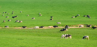 Herd of British Friesian cows grazing on a farmland Royalty Free Stock Photos