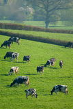 Herd of British Friesian cows grazing on a farmland Royalty Free Stock Photography