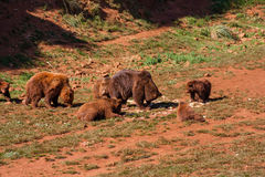 Herd of brown bears. On grass near moutain Stock Photos