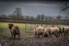 Herd of Brown and Beige Sheep on Field Under Gray Sky Stock Images