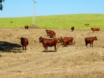 Herd of brown bulls in green meadow without grazing Stock Photo