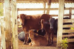 Herd of Brown Calf Royalty Free Stock Images