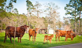 Herd of Brown Cows Stock Photo
