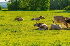 A herd of brown cows lies on the green field.  Royalty Free Stock Image