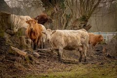 Herd of brown cows looking into the camera royalty free stock photo