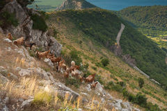 Herd of brown goats in coastal mountains Stock Images