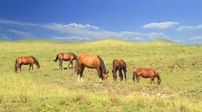 Herd of brown horses against a colorful blue sky and green hills royalty free stock images