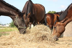 Herd of brown horses eating dry hay Stock Photo