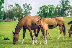 Herd of brown horses grazing in a pasture stock image