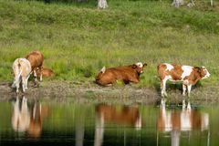 Herd of brown and white cows by the shore of a lake. With green grass in the background and reflections in the water Royalty Free Stock Photos