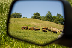 Herd of Buffalo. Grazing herd of buffalo as seen from a side view mirror Royalty Free Stock Images