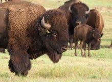 Herd of Buffalo Royalty Free Stock Photos