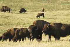 Herd of buffalo stock images