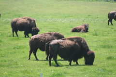 Herd of buffalo Stock Photo