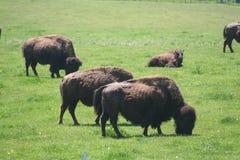 Herd of buffalo. A herd of buffalo grazing in the grass Stock Photo