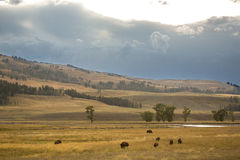 Herd of buffalo & x28;bison& x29; grazing in Lamar Valley, Yellowstone, Wy Royalty Free Stock Image
