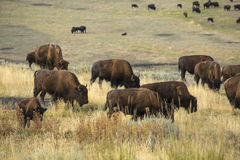 Herd of buffalo (bison) grazing in Lamar Valley, Yellowstone, Wy Royalty Free Stock Images