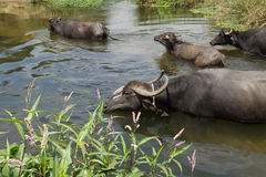 Herd of buffalo crossing the shallow stream. Stock Image