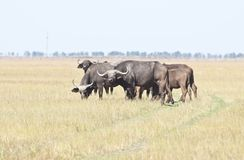 A herd of Buffalo in the desert. A herd of Buffalo grazing in the steppe, where the road passes stock photography