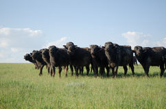 Herd of buffalo in the field stock photography