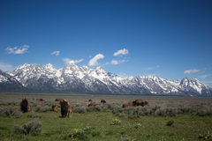 Herd of buffalo at Grand Teton National Park Royalty Free Stock Images