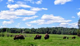 A herd of buffalo graze on a beautiful summer day with blue sky in a green field stock images