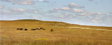 Herd Of Buffalo Grazing In The Kansas Tallgrass Pr Stock Photos