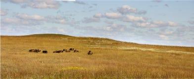 Herd Of Buffalo Grazing In The Kansas Tallgrass Pr. This heard of Buffalo graze casually in the wide open range of the Kansas Tallgrass Prairie Preserve Stock Photos