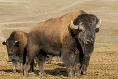 Herd Of Buffalo. A herd of Buffalo grazing in an open field Stock Photography