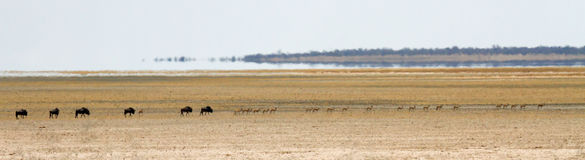 Herd of buffalo and impala crossing a barren desert landscape Royalty Free Stock Images