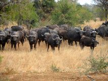 Herd of Buffalo Stock Image