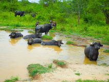 Herd of buffalo resting in water Stock Photography