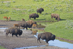 A herd of Buffalo roam near a water source in Yellowstone. Stock Photo