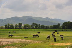 A herd of buffalo`s pasture. Royalty Free Stock Photos