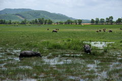 A herd of buffalo`s pasture. The buffalo herds are grass shear in grasslands that juicy and have a mountain backdrop Royalty Free Stock Photography