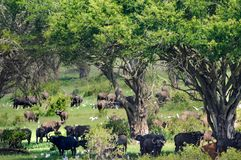Herd of buffalo in the shade Stock Photography