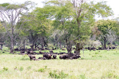 Herd of buffalo in the shade of a tree Royalty Free Stock Images