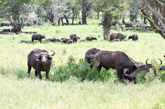 Herd of buffalo in the shade of a tree Royalty Free Stock Photos