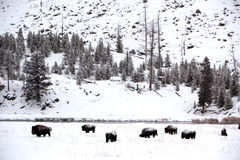 Herd buffalo in Yellowstone Stock Image