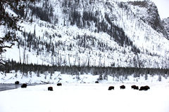 Herd buffalo in Yellowstone Stock Photo