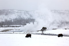 Herd buffalo in Yellowstone NP Royalty Free Stock Images