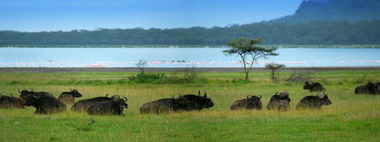 Herd of Buffaloes. Africa. Kenya. Lake Nakuru royalty free stock photo