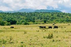 A herd of Buffaloes at Arusha National Park, Tanzania royalty free stock image