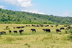 A herd of Buffaloes at Arusha National Park, Tanzania. African buffalo against a mountain background at Mount Meru, Arusha National Park, Tanzania stock photography