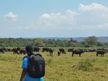 A herd of Buffaloes at Arusha National Park, Tanzania stock images