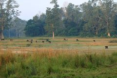 Herd of buffaloes in country side in Nepal stock photos
