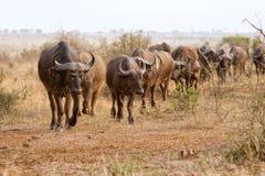 Herd of buffaloes Stock Photos